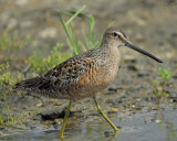 1190c_long_billed_dowitcher