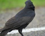 1570f_fish_crow