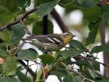 IMG_8378 Blackburnian Warbler.jpg