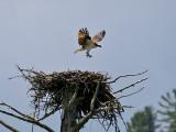 IMG_5730 Osprey.jpg