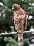 IMG_8799 Broad-winged Hawk.jpg