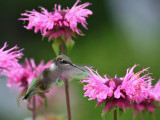IMG_9291 Hummingbird.jpg