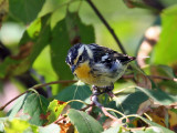 IMG_9199 Blackburnian Warbler.jpg