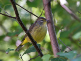 IMG_9414 Yellow Palm Warbler.jpg