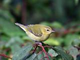 IMG_9735 Tennessee Warbler.jpg