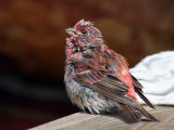 IMG_0379 Purple Finch.jpg