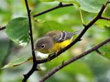 IMG_8430 Magnolia Warbler.jpg