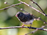 IMG_9997 Dark-eyed Junco.jpg