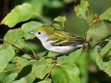 IMG_9768 Chestnut-sided Warbler.jpg