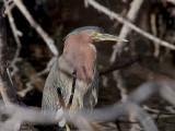 IMG_9278 Green Heron.jpg