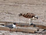 IMG_1038 Osprey.jpg