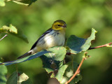 IMG_0373 Black-throated Green Warbler.jpg