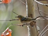 IMG_9608 Olive Warbler.jpg