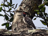 IMG_2412 Nuttall's Woodpecker - male.jpg