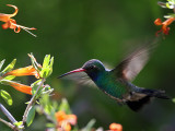IMG_4637 Broad-billed Hummingbird male.jpg