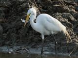 IMG_5336 Great Egret.jpg