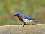 IMG_7610 Eastern Bluebird.jpg
