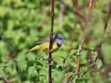 IMG_8181 Mourning Warbler.jpg