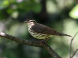 IMG_0237 Northern Waterthrush.jpg