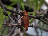 IMG_3387 Rufous Hummingbird.jpg