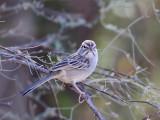 IMG_4606a Rufous-winged Sparrow.jpg