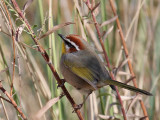 IMG_4999a Rufous-capped Warbler.jpg