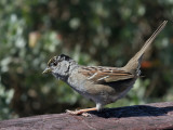 IMG_3378a Golden-crowned Sparrow.jpg