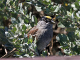 IMG_3371a Golden-crowned Sparrow.jpg
