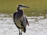 IMG_5636a Great Blue Heron.jpg