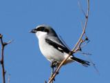 IMG_5929a Loggerhead Shrike.jpg