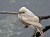 IMG_6749 Leucistic Vermilion Flycatcher.jpg