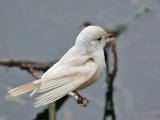 IMG_6699 Leucistic Vermilion Flycatcher.jpg