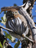 IMG_7070 Northern Pygmy Owl.jpg