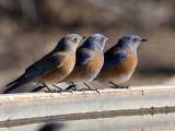IMG_7792 Western Bluebirds.jpg