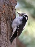 IMG_8385a Hairy Woodpecker.jpg