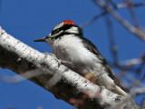 IMG_8361a Hairy Woodpecker.jpg
