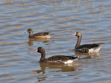IMG_9118 Greater white-fronted geese.jpg
