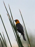 IMG_6811b Yellow-headed Blackbird.jpg