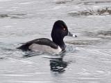 IMG_9296 Ring-necked Duck.jpg