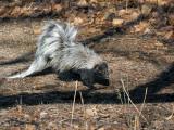 IMG_9613a Skunk.jpg