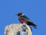 IMG_0045c Lewis's Woodpecker.jpg
