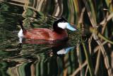 IMG_0312a Ruddy Duck.jpg