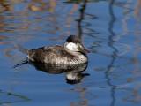 IMG_0377 Ruddy Duck.jpg