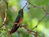 IMG_5811b Buff-bellied Hummingbird.jpg