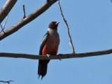 IMG_0035c Lewis's Woodpecker.jpg