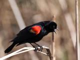 IMG_1636 Red-winged Blackbird.jpg