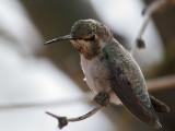 IMG_2516 Anna's Hummingbird.jpg