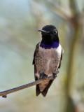 IMG_2044 Black-chinned Hummingbird.jpg