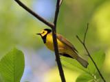 IMG_7620 Hooded Warbler.jpg