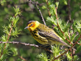 IMG_7986a Cape May Warbler.jpg